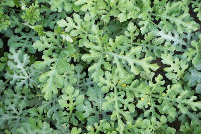绿色的树叶背景