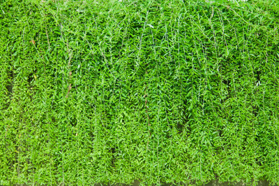 绿色的树叶墙背景