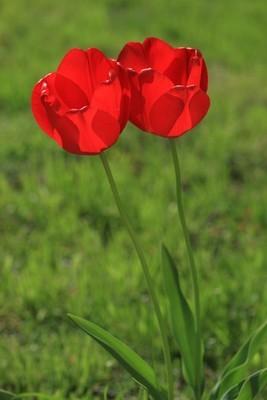 红 tupil