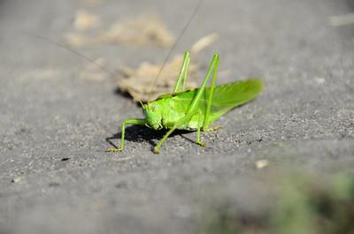 灰色沥青上的绿色蝗虫