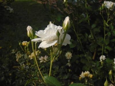 美丽的白色花朵, 有花蕾
