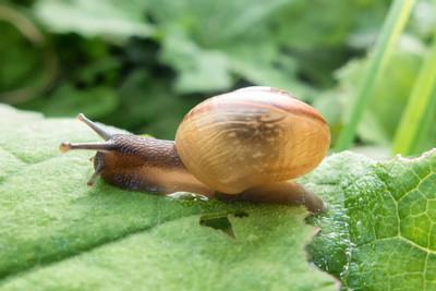 大蜗牛附着在植物上