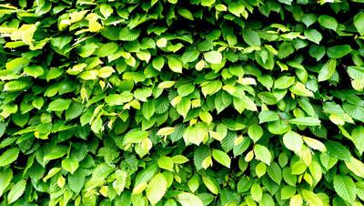 绿色的植物墙篱水平