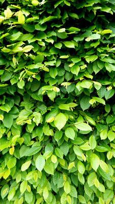 绿色的植物墙篱垂直