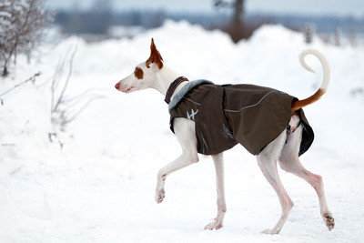 ibizan 猎犬