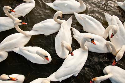 群天鹅在水