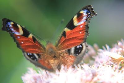 孔雀蝴蝶在花上