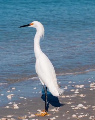 站在海边的白鹭