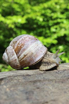 葡萄园蜗牛