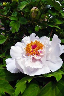 盛开的牡丹花-植物和花朵
