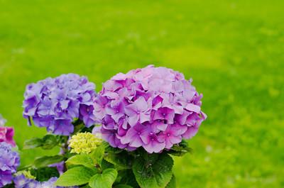 绣球花花园