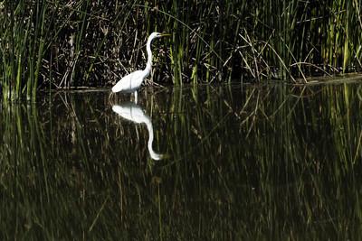 白白鹭站在水中, 绿色的芦苇和倒影
