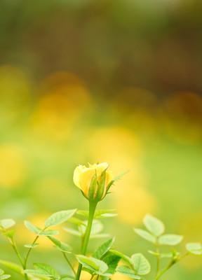 黄色玫瑰花朵