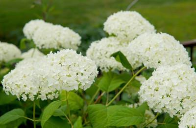 花园里的白花
