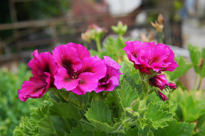 一些紫罗兰盆栽植物