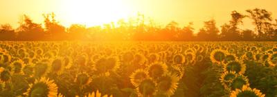 日出的向日葵