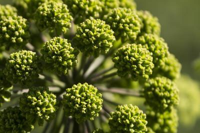绿色视锥,伞形科植物
