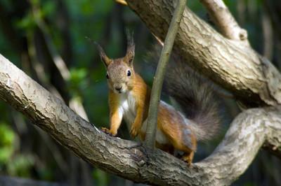 在森林里的松鼠