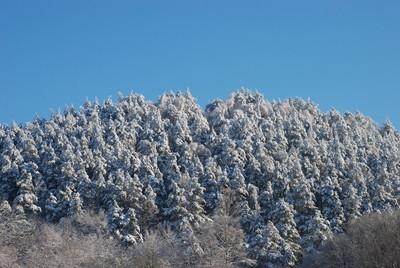 山上的雪松树森林