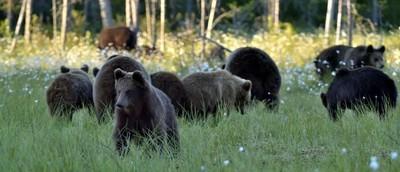 群的野生动物棕熊