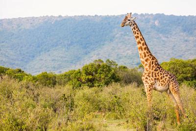 在野生动物园里的长颈鹿