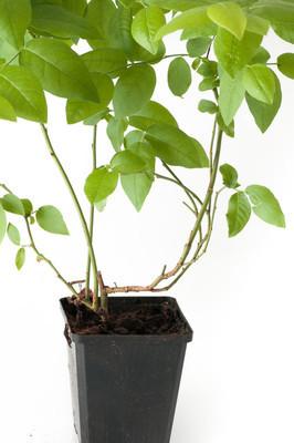蓝莓植物盆栽与根
