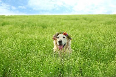 可爱的猎犬与花环