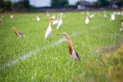 爪哇池鹭在自然水稻农场