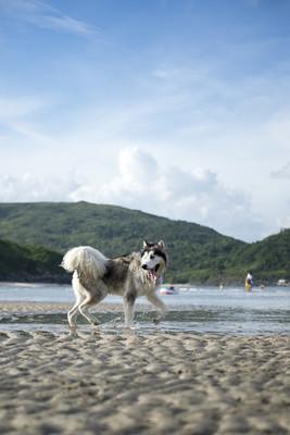 阿拉斯加雪橇犬在海滩玩