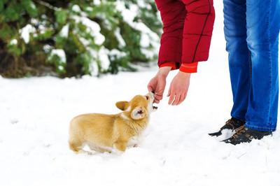 男人玩弄一只小狗的威尔士科基犬