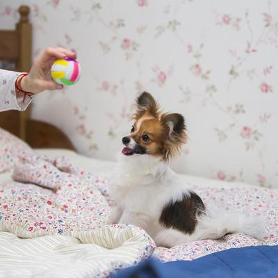 巴比龙小狗 / 大陆玩具犬,蝴蝶犬