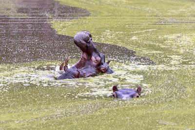 河马在水上