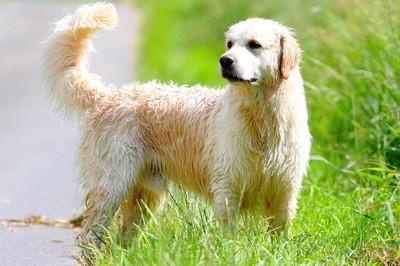 肖像黄金猎犬